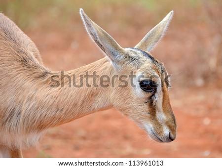 Cute Baby Antelope Head -Closeup on calm little animal - stock photo