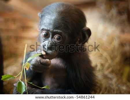 Cute baby Bonobo monkey (Pan paniscus) - stock photo
