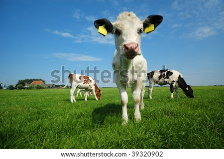 cute baby cow in summer - stock photo