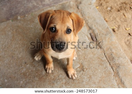 Cute baby dog with sad eyes in Sri Lanka - stock photo