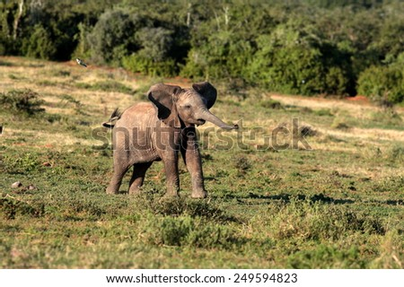 Cute baby elephant calf charging in this portrait image from South Africa - stock photo