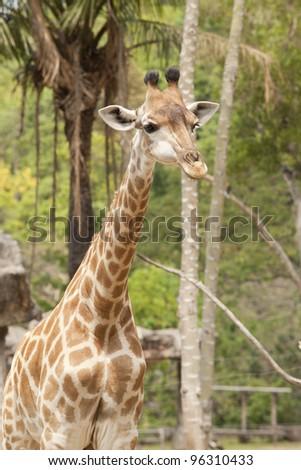 Cute baby giraffe with green nature background. - stock photo