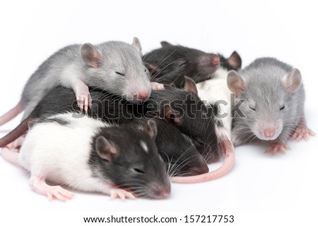 cute baby rats resting on white background - stock photo