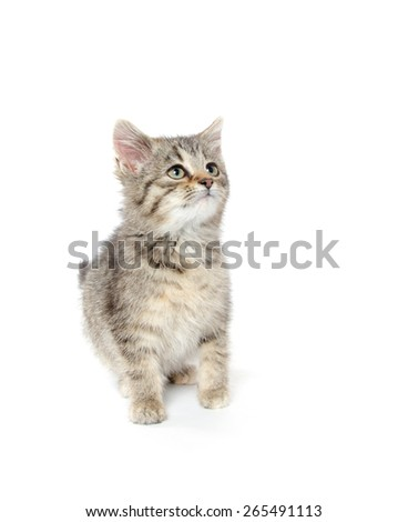 Cute baby tabby American shorthair kitten on white background - stock photo