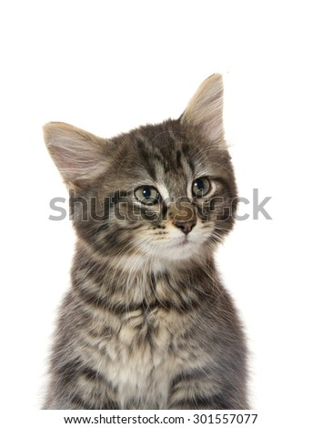 Cute baby tabby domestic shorthair kitten sitting and isolated on white background - stock photo