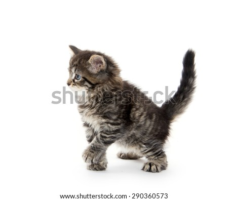 Cute baby tabby kitten sitting and playing isolated on white background - stock photo
