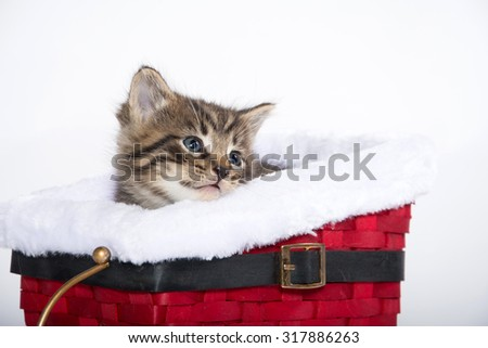 Cute baby tabby kitten sitting inside of red sled isolated on white background - stock photo