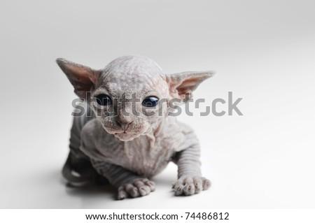 cute bald baby cat very close up - stock photo