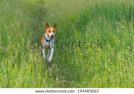 Cute basenji dog running in spring grass - stock photo