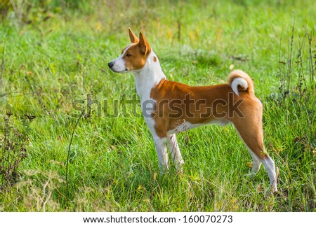 Cute Basenji dog - troop leader in the wild autumnal grass. - stock photo