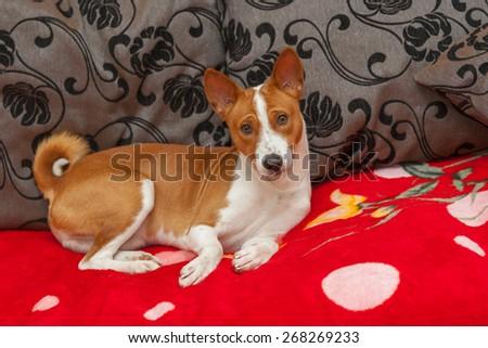 Cute basenji having rest on the sofa - stock photo