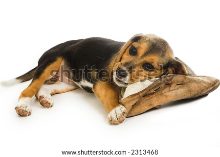 Cute beagle puppy dog chewing on an old slipper - stock photo