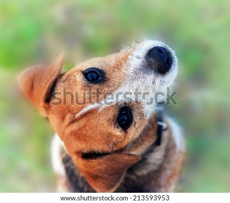 Cute beagle puppy. Dog on natural background - stock photo