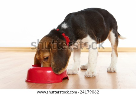 Cute beagle puppy eating from a dish - stock photo