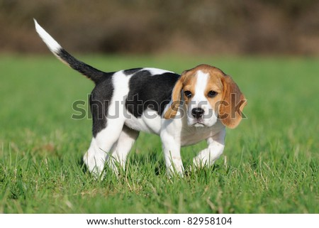 cute Beagle puppy 3 months stands in the meadow - stock photo