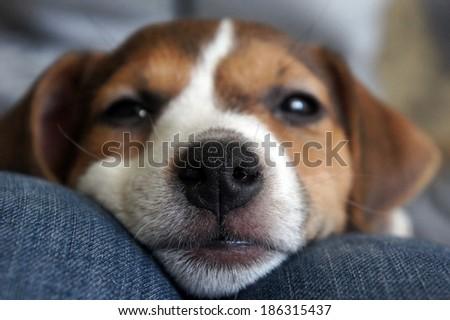 Cute beagle puppy sleep - stock photo