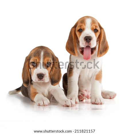 Cute Beagle Puppy (5 week old) - stock photo
