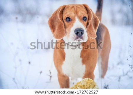 Cute beagle winter outdoor portrait - stock photo