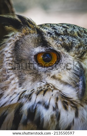 cute, beautiful owl with intense eyes and beautiful plumage - stock photo