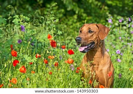 Cute beautiful rhodesian ridgeback dog puppy in a field of flowers - stock photo