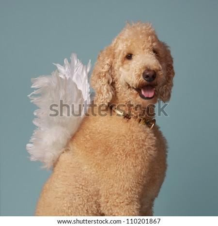 cute beige angel poodle dog wearing white wings - stock photo