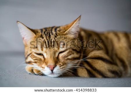 Cute bengal cat asleep on the floor - stock photo