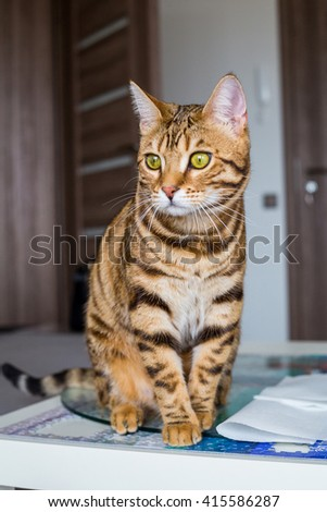 Cute bengal cat sitting on the table looking with interested eyes. Cat with green eyes. Little tiger. - stock photo