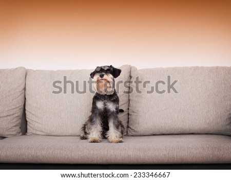 Cute black and silver miniature schnauzer sitting on beige sofa - stock photo