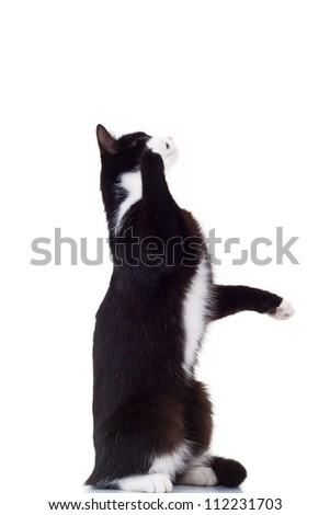 cute black and white cat standing on its hind legs reaching for something on white background - stock photo
