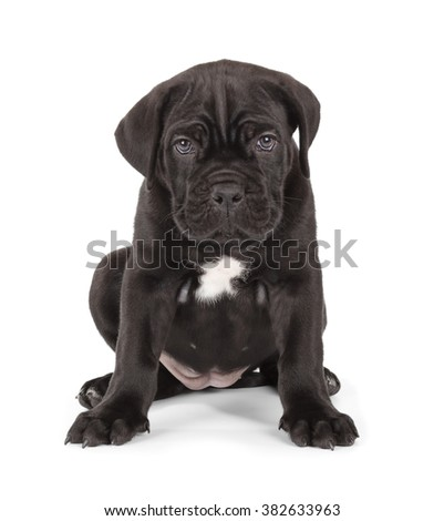 Cute Black Cane Corso puppy isolated on white background. Front view, sitting. - stock photo