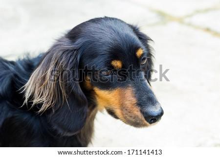 Cute black Daschund on a white background - stock photo