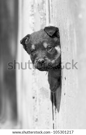 cute black dog looks out the fence - stock photo