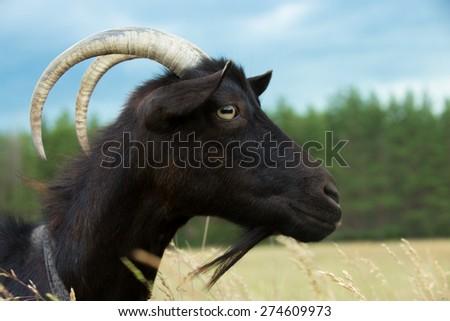 Cute black goat grazing at farmland meadow, profile, close-up - stock photo