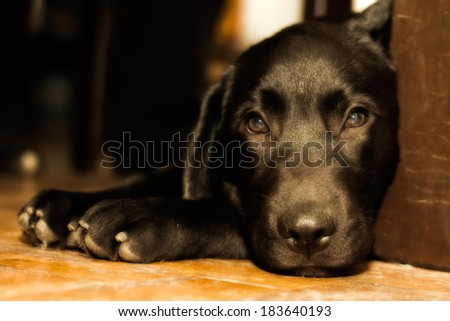 Cute black labrador puppy with beautiful, sad eyes laying on the floor under the table. - stock photo