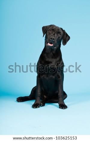 Cute black labrador retriever isolated on light blue background. Studio shot. - stock photo