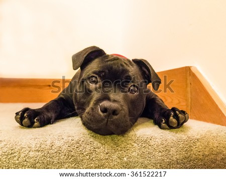 Cute black Staffordshire Bull Terrier, Pit Bull,  puppy dog lying down with paws forward looking at the camera with a cute, funny expression, stare. - stock photo