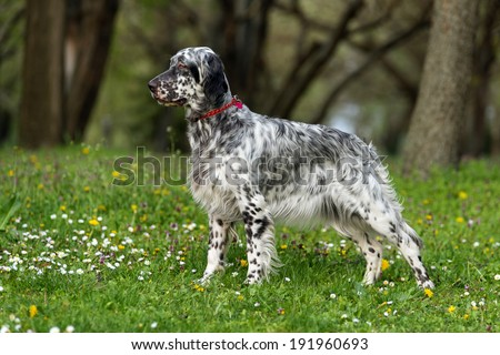 Cute blue belton English Setter dog is standing in a beautiful spring flowering meadow before a groves background - stock photo
