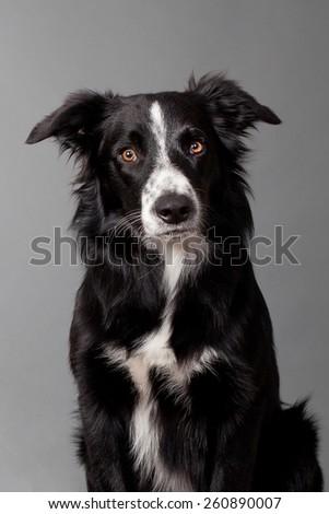 cute border-collie in studio - stock photo