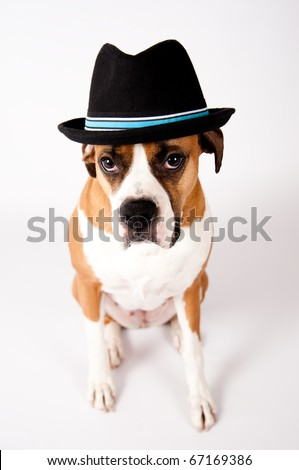 Cute Boxer Mix Dog in Blakc Fedora Hat - stock photo