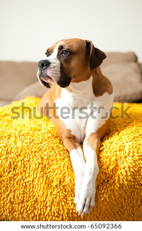 Cute Boxer Mix Dog Relaxing on Couch - stock photo