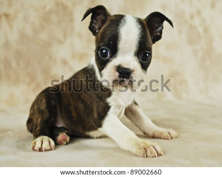 Cute brindle Boston Terrier puppy. - stock photo