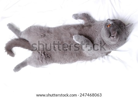 Cute British cat - stock photo