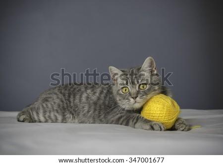 Cute british kitten - stock photo