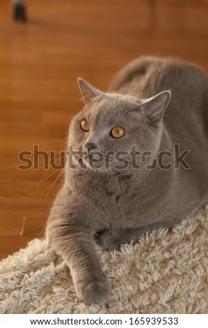 cute british short-hair cat lying peacefully on the furry carpet - stock photo