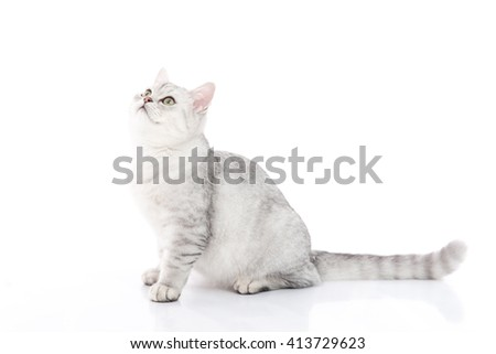 Cute  British Shorthair kitten sitting and looking on white background isolated - stock photo
