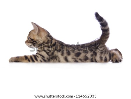 Cute brown Bengal kitten lying down sideview with tail up isolated on white background - stock photo