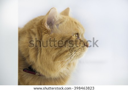 Cute brown cat pet sitting, adorable kitten looking at camera. furry mammal isolated on white background, side view - stock photo
