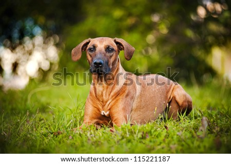 cute brown dog Ridgeback lying on the grass in summer - stock photo
