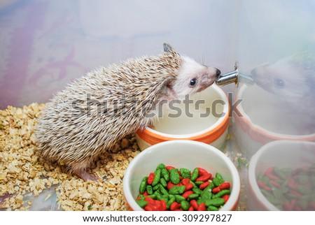 Cute Brown Hedgehog Drinking Water. - stock photo