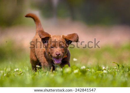 Cute brown puppy running through grass in a backyard lawn - stock photo